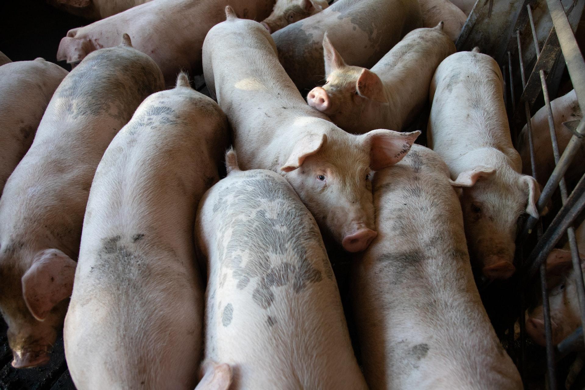 zakaz stosowania klatek w chowie i hodowli - grafika wpisu